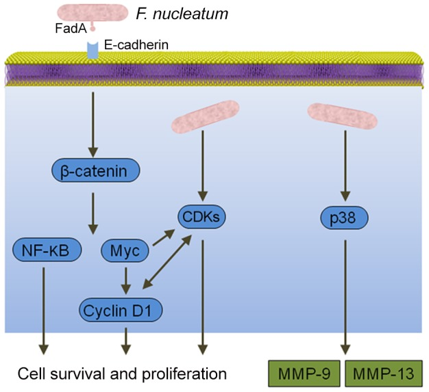 Interactions between F. <t>nucleatum</t> and epithelial cells that could produce an oncogenic phenotype. Binding of the FadA adhesin to E-cadherin activates β-catenin signaling, resulting in activation of genes that control cell survival and proliferation. F. nucleatum also activates several cyclin dependent kinases (CDKs) and p38, which controls the production of matrix metalloproteases MMP-9 and MMP-13.