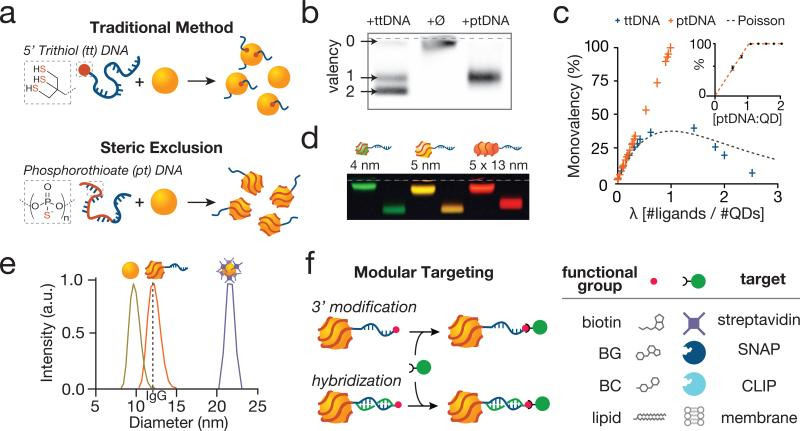 Exclusive synthesis of small, modular, and monovalent quantum dots (QDs) by the principle of Steric Exclusion ( a ) Incubation of bare QDs with trithiol DNA (ttDNA) generates products with a distribution of valencies due to excess nanoparticle surface area. In contrast, phosphorothioate DNA (ptDNA) molecules of appropriate size wrap the nanoparticle, preventing the reaction of a second strand due to Steric Exclusion. ( b ) Agarose gel electrophoresis of reactions of ptDNA and ttDNA of identical length with bare nanoparticles optimized for yield of monovalent products. ( c ) Plot of lambda (average number of molecules bound per QD) versus percent monovalent products using ttDNA and ptDNA. Fitting the curve with a Poisson distribution indicates that the distribution of products generated by ttDNA is underdispersed relative to expected values for large lambda. The same curve for ptDNA is not defined for values of lambda greater than one. (inset) Plot of reaction stoichiometry (ptDNA:QD) versus percent monovalent products. ( d ) Steric Exclusion using 50 adenosine ptDNA sequences efficiently generated monovalent nanoparticles of distinct sizes, shapes, and hence spectral properties. ( e ) Dynamic light scattering analysis reveals that ptDNA-wrapped mQDs are 12 nm in diameter, similar in size to an IgG (dotted line) and about half the size of conventional Streptavidin QDots (22 nm). ( f ) DNA-wrapped mQDs can be selectively targeted by 3'-modification of the oligonucleotide. Alternatively, complementary strands bearing a 5' targeting modification such as benzylguanine (BG), benzylcytosine (BC) or lipid allow modular targeting of mQDs to streptavidin, SNAP-, CLIP-tags, or cell surfaces.