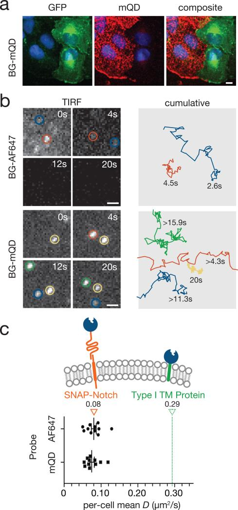 Diffusion dynamics of SNAP-Notch proteins on live cell surfaces ( a ) Cocultures of U2OS cells expressing either SNAP-Notch or Notch-GFP incubated with 1 μM BG-AF647 or 1 μM BG-DNA and complementary mQDs. In both cases, specific labeling of SNAP-Notch proteins was clearly seen by confocal fluorescence microscopy. Scale bar = 10 μm. ( b ) Snapshots from the same region on the same cell showing trajectories of single SNAP-Notch proteins visualized by BG-AF647 and BG-mQD. Scale bar =1 μm. The complete trajectories are shown at the right panel. Some mQDs diffuse in and out of the field of view. ( c ) The mean diffusion constant of at least 15 SNAP-Notch proteins per cell measured with both BG-mQDs or BG-Alexafluor dyes. No statistically significant difference in diffusion was found via t-Test ( p = 0.726). The mean diffusion constant of a SNAP protein fused to an unrelated type I transmembrane domain from CD86 is shown as reference.