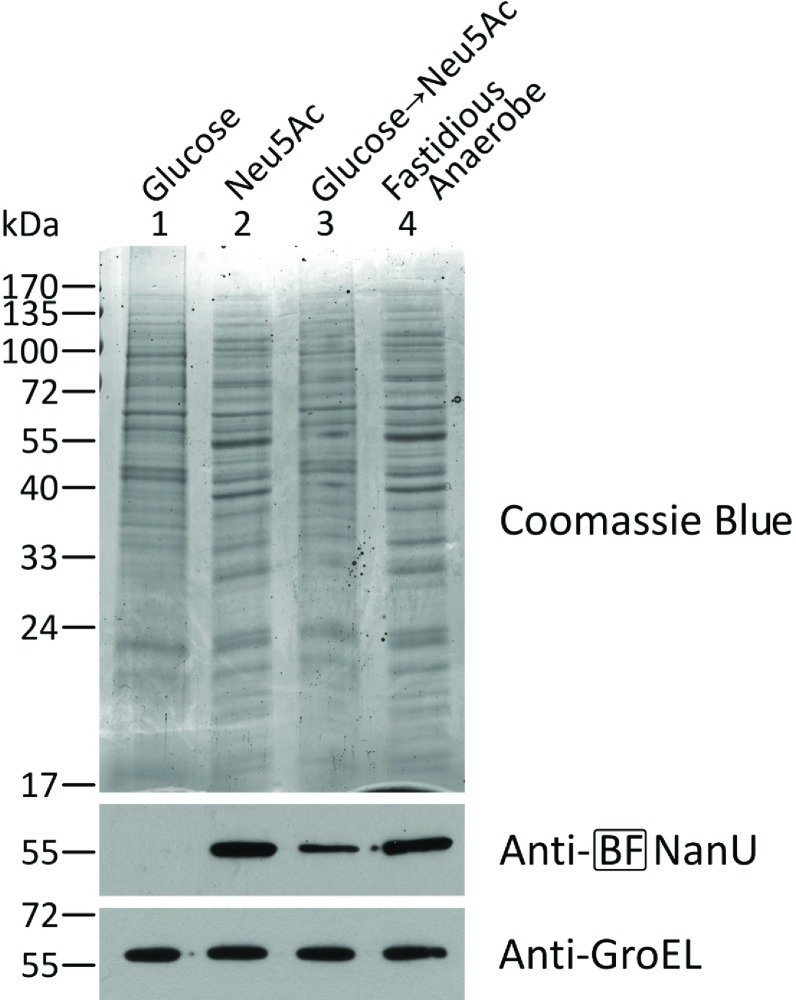NanU expression in B. fragilis in response to different carbon sources B. fragilis NCTC 9343 cells cultured overnight on FA agar were subcultured on FA agar (16 h) (lane 4) or minimal medium agar supplemented with 15 mM glucose (lane 1), Neu5Ac (lane 2) or glucose (16 h) then Neu5Ac (16 h) (lane 3). Normalized amounts of proteins were stained with Coomassie Blue or probed with rat BF-NanU antiserum or rabbit anti-( E. coli GroEL) as described above. Molecular mass is given on the left-hand side in kDa.