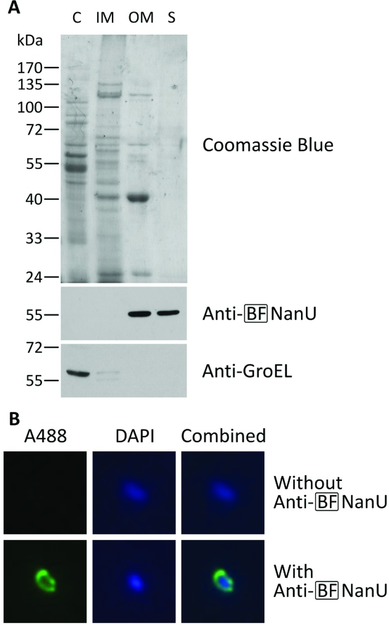 Cellular localization of NanU in B. fragilis ( A ) Cell fractions isolated from B. fragilis NCTC 9343 cells were obtained by differential detergent fractionation as described in the Materials and methods section. Protein (10 μg) from the cytoplasmic (C), inner membrane (IM), outer membrane (OM) and 20× concentrated secreted (S) fractions were loaded into each lane, resolved by SDS/PAGE (10% gel) and stained with Coomassie Blue. Parallel gels were blotted on to nitrocellulose membranes and probed with BF-NanU rat antiserum and rabbit anti-( E. coli GroEL) as described above. The blots were incubated with HRP-conjugated anti-(rat goat IgG) or anti-(rabbit goat IgG) and visualized. Molecular mass is given on the left-hand side in kDa. ( B ) Representative micrographs of immobilized intact B. fragilis cells, probed with BF-NanU rat antiserum (lower row) or just PBS (upper row) and incubated in the dark with goat anti-(rat IgG–Alexa Fluor™ 488) (A488) and counterstaining with DAPI. Fluorescence was visualized at ×100 magnification using appropriate filters, with NanU (left-hand panels) and DNA (middle panels) shown in green and blue respectively, alongside a combined image (right-hand panels).