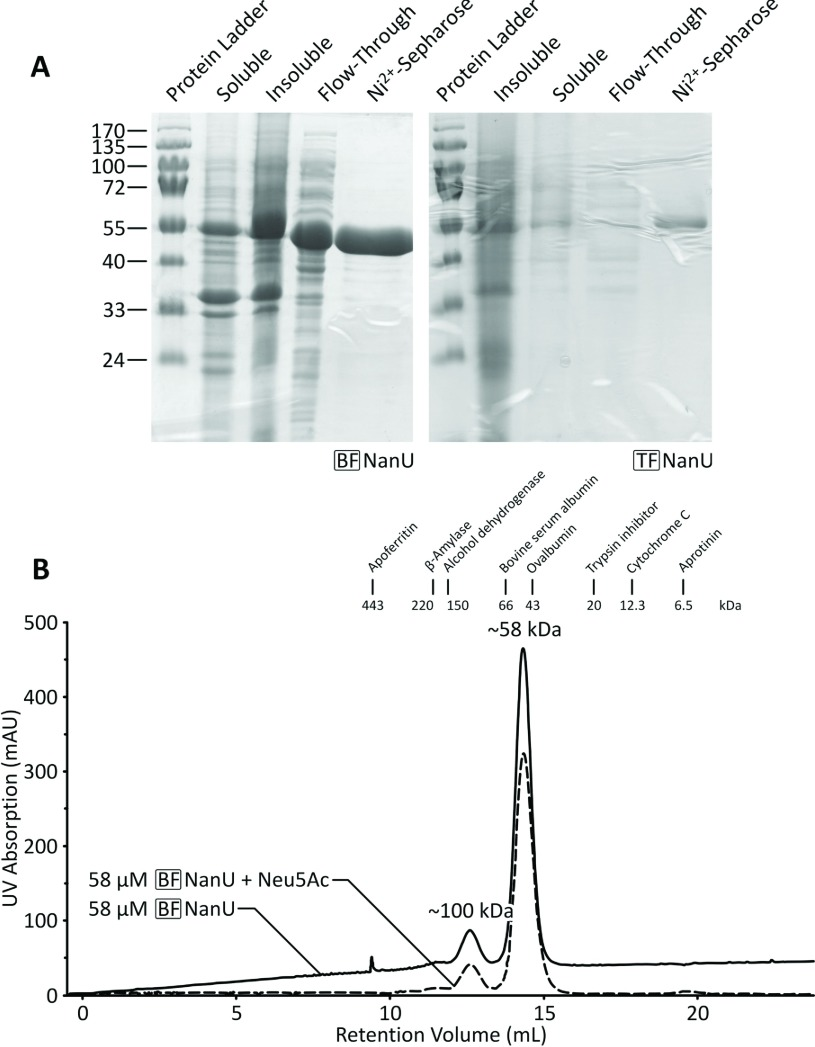 Affinity-tag purification of BF-NanU and TF-NanU proteins ( A ) PCR-amplified C-terminally His 6 -tagged versions of BF-NanU ( BF1720 ) and TF-NanU ( TF0034 ) were expressed in E. coli BL21λ(DE3) cells containing relevant pET21a(+) derivatives and purified (see the Materials and methods section) before analysis by SDS/PAGE. Molecular mass is given on the left-hand side in kDa. ( B ) Purified BF-NanU (3 mg/ml), with and without pre-incubated Neu5Ac at an equimolar concentration, were sequentially applied to a HiLoad Superdex 200 PG gel-filtration column, calibrated with a gel-filtration standard of which the protein peaks and their corresponding elution volumes are represented by vertical lines. Both NanU and NanU–Neu5Ac migrated as globular species with an apparent molecular mass of ~58 kDa protein, approximating that of a monomer (57 kDa). mAU, milli-absorption unit.