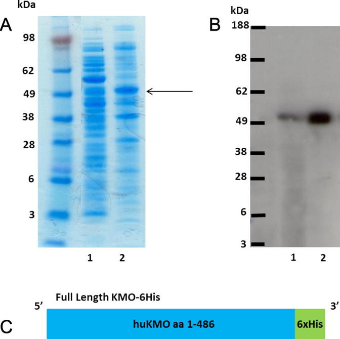 Insoluble flKMO. (A) SDS-PAGE protein gel stained with simplyblue. Lane 1. Soluble fraction following over-expression of full length KMO in bacterial cells. Lane 2. Insoluble fraction, KMO protein (55 kDa) highlighted by arrow. (B) Western blot of the same samples, chemiluminescence detection using Anti-His(c-term)-HRP antibody. Lanes as before. The majority of the KMO protein is present in the insoluble fraction. (C) Cartoon illustrating the flKMO-6His construct. (For interpretation of the references to colour in this figure legend, the reader is referred to the web version of this article.)