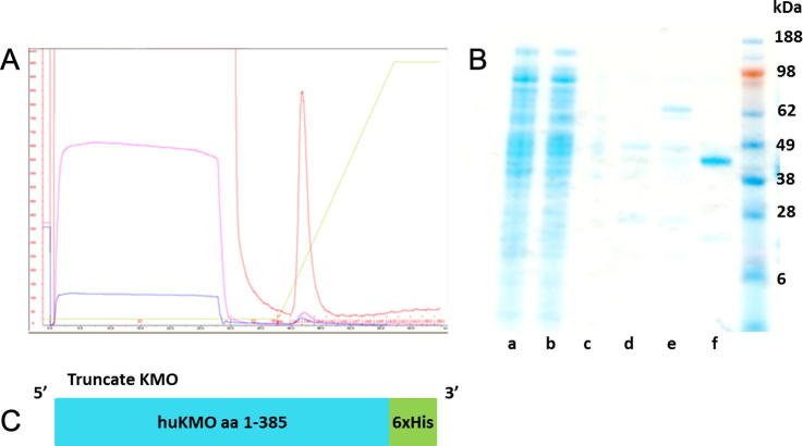 Purified trKMO. (A) Chromatogram produced during NiNTA affinity purification of truncate KMO. (B) SDS-PAGE protein gel stained with simplyblue showing HisTrap purification of truncated human KMO protein, (a) Cell-free extract prior to affinity chromatography, (b) flowthrough proteins which did not bind to the column, (c) first column wash, (d) second column wash, (e) third column wash, (f) pure truncated human KMO protein (44 kDa) from the fractions under the chromatogram. (C) Cartoon illustrating the trKMO construct. (For interpretation of the references to colour in this figure legend, the reader is referred to the web version of this article.)