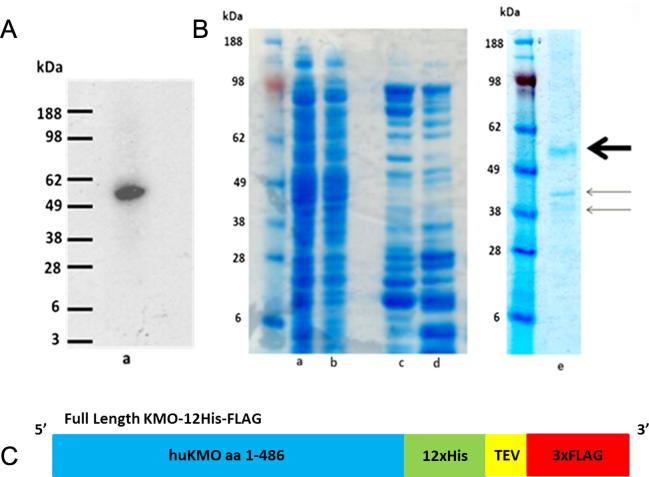 Soluble partially purified KMO-FLAG. (A) Western blot using chemiluminescence detection, anti-FLAG M2 antibody and goat anti-mouse <t>HRP</t> secondary antibody, (a) soluble fraction from over-expressed KMO-12His-FLAG (57 kDa) in bacterial cells. (B) SDS-PAGE gel stained with simplyblue showing anti-FLAG conjugated protein A magnetic bead purification of KMO-12His-FLAG, (a) Cell-free extract prior to purification, (b) flowthrough proteins which did not bind to the beads, (c) first magnetic bead wash, (d) second bead wash, (e) purified KMO-12His (57 kDa) (bold arrow) eluted from the beads by TEV protease has precipitated with two contaminant E . coli proteins (indicated using arrows). (C) Cartoon illustrating the <t>flKMO-12His-FLAG</t> construct. (For interpretation of the references to colour in this figure legend, the reader is referred to the web version of this article.)