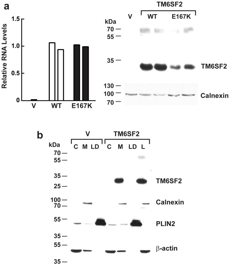 Expression of TM6SF2 in cultured hepatocytes. ( a ) Plasmids encoding wild-type and mutant human TM6SF2 were expressed in HuH7 cells. Two days after transfection, the TM6SF2 mRNA levels were measured using Real-Time PCR (left). The cells were harvested and solubilized in RIPA buffer (150 mM NaCl, 1.0% NP-40, 0.5% sodium deoxycholate, 0.1% SDS, and 50 mM Tris, pH=8). Quantitative immunoblotting was performed using a LI-COR Odyssey infrared imaging system as described in the Methods (right). The experiment was performed twice and the results were similar. The blots shown are representative of two independent experiments. V, vector. ( b ) Recombinant wild-type hTM6SF2 was expressed in Hepa1c1c7 cells. After two days, the cells were fractionated and subjected to immunoblotting as described in the Methods. C, cytosol; M, membranes; LD, lipid droplets; L, whole cell lysate. The experiment was performed twice and the results were similar. The blots shown are representative of two independent experiments.