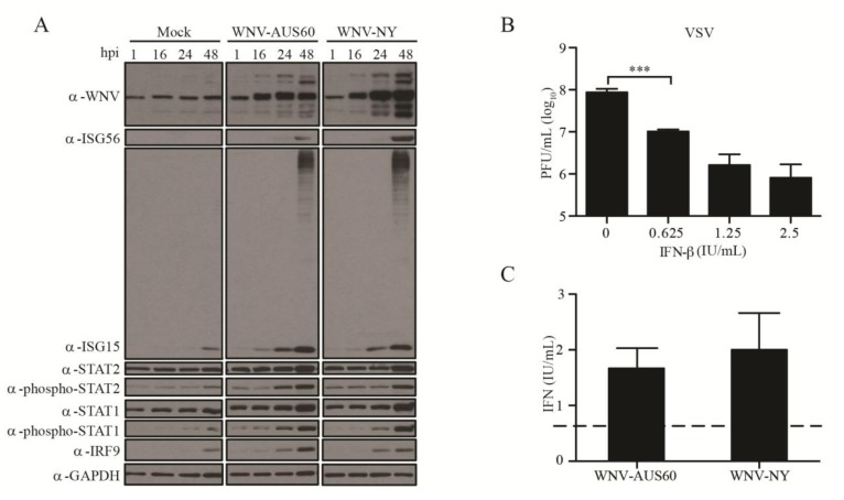 Antiviral response to WNV-AUS60 and WNV-NY in HDFs. ( A ) Steady state protein levels of WNV, ISG56, ISG15, Phospho-STAT-2, STAT-2, Phospho-STAT-1, STAT-1, IRF-9, and GAPDH in mock and WNV-infected (MOI = 0.05) HDF cells. Extracts prepared at the indicated times post-infection were examined by immunoblot. A representative example from three independent experiments is shown; ( B ) Sensitivity of HDFs to IFN. HDF cells were treated with 0, 0.625, 1.25, or 2.5 IU/mL IFN-β for 24 h prior to infection with vesicular stomatitis virus (VSV) (MOI = 1). Supernatants were collected at 24 h post-infection and VSV titers were determined by plaque assay on Vero cells. Values represent the average number of plaque forming units (PFU) per mL (±standard error) from at least three independent experiments. Statistical significance was determined by an unpaired t-test. Asterisks indicate differences that are statistically significant (*** p