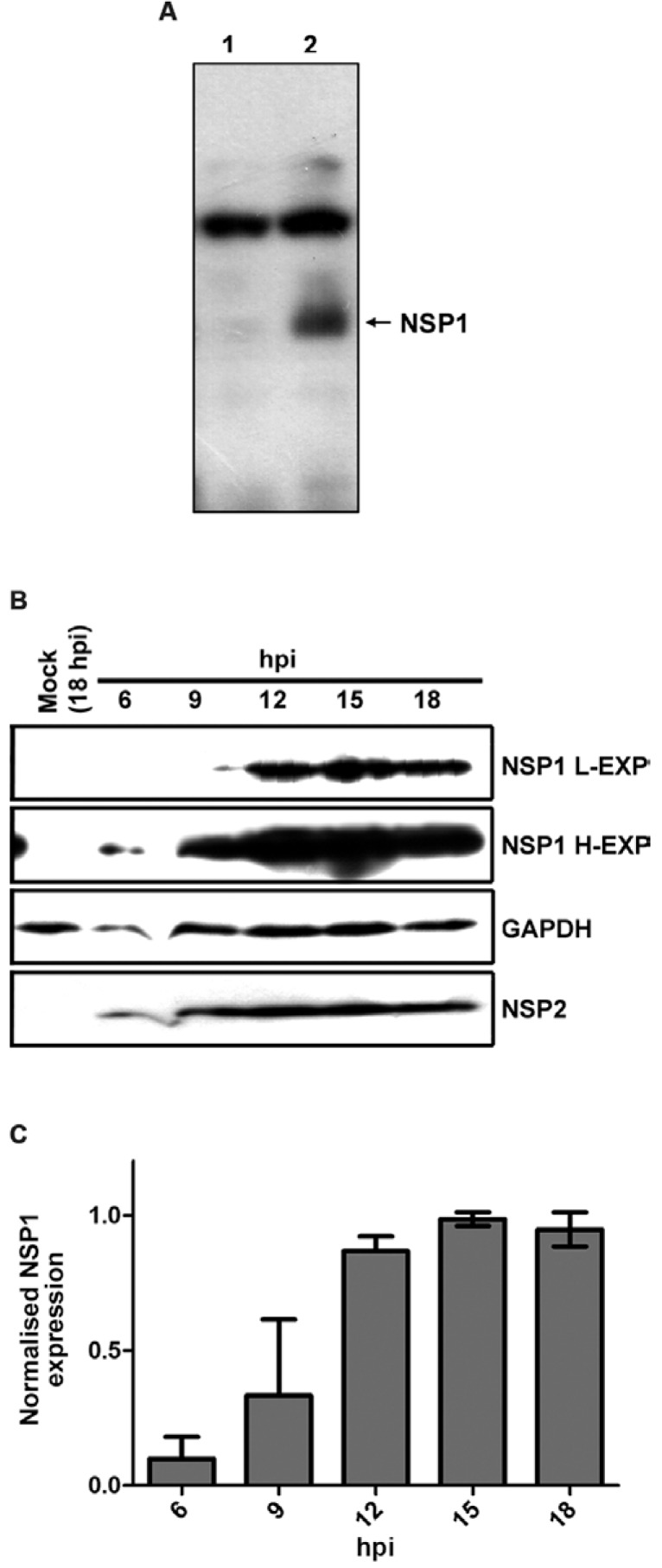 non-structural protein 1 (NSP1) has a low expression level that increases late in infection in rhesus rotavirus (RRV)-infected cells. MA-104 cells were mock-infected or infected with RRV at a multiplicity of infection of 10 and the cells were processed using Western blot analysis with anti-NSP1, anti-NSP2 and anti- glyceraldehyde-3-phosphate dehydrogenase (GAPDH) at different times post-infection (pi) (as indicated). The anti-NSP1 serum detected an intense cellular band in mock-infected cells (Lane 1, panel A), whereas a specific NSP1 band was detected only in RRV-infected cells (A). The results of one representative WB assay are shown (B), with two lengths of film exposure [low (NSP1 L-EXP) or high (NSP1 H-EXP)], as well as quantitative analyses of three independent experiments normalising the band intensities of NSP1 to the loading control GAPDH (C). Standard deviations are shown above each bar. hpi: hours pi.