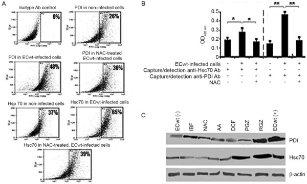 effect of drug treatment on Hsc70 and protein disulphide isomerase (PDI) expression in small intestinal villi isolated from ECwt-infected mice. A: flow cytometric analysis was performed on intestinal epithelial cells (IEC) isolated from villi from ECwt-infected mice (n = 2 mice for each experimental group) that had been treated with ibuprofen (IBF) (20 mg/kg/day), diclofenac (DCF) (1 mg/kg/day), pioglitazone (PGZ)(30 mg/kg/day), rosiglitazone (RGZ) (4 mg/kg/day), N-acetylcysteine (NAC) (18 mg/kg/day), ascorbic acid (AA) (20 mg/kg/day) or difenoxilate sodium (7.5 mg/kg/day) during three days post-inoculation (d.p.i.). Goat primary antibodies (Abs) against Hsc70 or PDI and fluorescein isothiocyanate (FITC)-conjugated mouse anti-goat <t>IgG</t> secondary Abs were used. Immunofluorescence analysis was performed on a Cyan (Dako) flow cytometer using a FlowJo software; B: radio immunoprecipitation assay lysates from villi isolated from ECwt-infected mice (n = 3 mice for each experimental group) that had been treated with NAC (18 mg/kg/day) during three days after 24 h post-inoculation. were added to ELISA plates coated with rabbit polyclonal Abs against Hsc70 or PDI. Goat Abs against Hsc70 or PDI were used as detection Abs and the reaction was revealed using horseradish peroxidase <t>(HRP)-conjugated</t> donkey anti-goat Abs and phenylenediamine dihydrochloride substrate before reading at optical density (OD) 492 nm . Lysates from uninfected villi were used as a control. Data are expressed as mean OD 492 nm Hsc70 or PDI antigen. Graph shows significant increase of Hsc70 and PDI expression (p