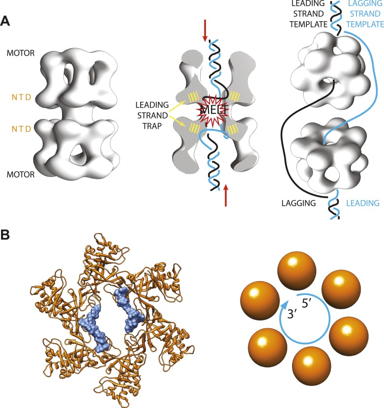 Archaeal/eukaryotic <t>helicase</t> interacting with DNA. ( A ) DNA opening and unwinding by the Mcm2-7 helicase: the two motor domains that move along the DNA are at opposite ends of a DNA-loaded helicase double ring, with the N-terminal DNA-binding domains (NTD) in the middle. Froelich, Kang et al. propose that the motor domains push the duplex DNA towards the middle of the helicase, hence promoting melting of the DNA at the origin of replication and trapping of the leading strand template by the NTD. The rings then separate and travel in opposite directions, with one ring sliding along each of the leading strand templates from the two replication forks. ( B ) Crystal structure of the MCM helicase (orange) bound to single-stranded DNA (light blue). The DNA circles around the MCM central channel in a clockwise direction (when travelling from the 5′-end to 3′-end and viewing the ring from its C-terminal face).