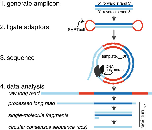 Illustration of PacBio sequence generation. Adaptors (SMRTbells) are first ligated to each amplicon, and after a sequencing primer is annealed to the <t>SMRTbell</t> template, DNA polymerase is bound to the complex. This polymerase-amplicon-adaptor complex is then loaded into zero-mode waveguides (ZMWs) where replication occurs, producing nucleotide-specific fluorescence. Circular consensus sequencing (ccs) allows the polymerase to repeatedly replicate the circularized strand, producing one long read with randomly distributed errors [ 9 ]. Post-run, the SMRTbell sequences are bioinformatically trimmed away, single-molecule fragments are aligned, and a consensus sequence is generated. The single-molecule coverage and accuracy of resulting ccs reads are amplicon- and read-length dependent, with smaller amplicons and longer reads giving higher single-molecule coverage and thus higher ccs read accuracy.