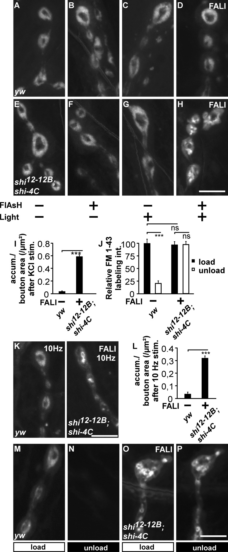 Photoinactivation of Dynamin results in the formation of large membrane inclusions.  (A–H) FM 1-43 labeling in  yw  and  shi 12-12B ;  shi-4C  animals treated (+) or not treated (−) with FlAsH for 10 min and/or illumination for 2 min (±). All preparations were stimulated with KCl in the presence of FM 1-43 for 5 min. (I) Quantification of the number of FM 1-43–labeled membrane accumulations (accum.) per boutonic area in  yw  controls ( n  = 72 boutons from eight larvae) and in  shi 12-12B ;  shi-4C  after FALI ( n  = 72 boutons from 16 larvae). Error bars show SEMs;  t  test: ***, P
