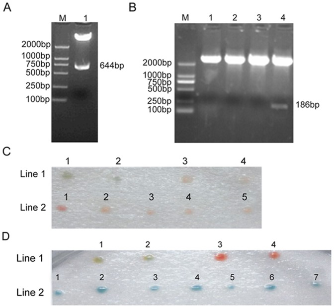 The interaction between full length MT-1X and FHL3 by yeast two hybrid assay. (A) Identification of recombinant plasmid pAS2-1/FHL3d4 by restriction analysis. M:DNA marker; Lane1: Digested pAS2-1/FHL3d4 plasmid with <t>Nde</t> I and Eco RI. (B) Identification of recombinant plasmid pACT2/MT-1X by restriction analysis. M:DNA marker; Lane1-4: Digested pACT2/MT-1X plasmid with Bam HI and Eco RI. (C) Detection of MT-1X auto-activation by yeast two hybrid analysis. Line1:1,2: positive control; Line1: 3,4: negative control; Line2:1-5:transform pACT2/MT-1X. (D) Coloration analysis to verify the interaction between full length MT-1X and FHL3. Line1:1,2:positive control; Line1: 3,4: negative control. Line2:1–7: Co-transform pAS2-1/FHL3d4 and pACT2/MT-1X.