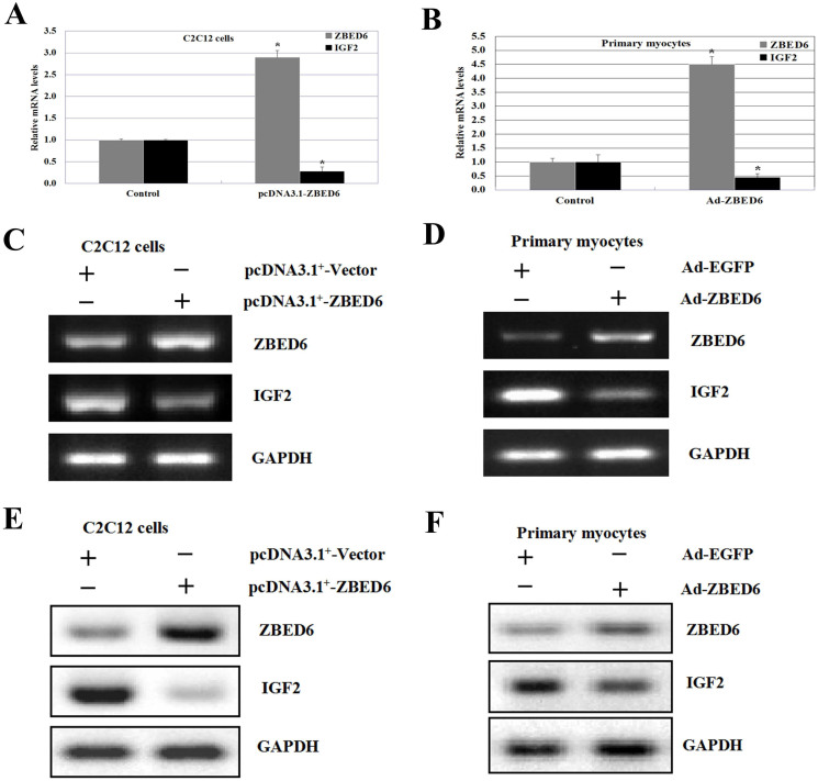 ZBED6 mediated IGF2 expression in C2C12 cell lines and bovine primary myocyte cells. (A) Comparison of mRNA expression levels of bovine ZBED6 and IGF2 in C2C12 cell lines between transfected with pcDNA3.1 + (control), pcDNA3.1 + -ZBED6. A blank expression vector (pcDNA3.1 + ) was used to maintain equivalent amounts of DNA. (B) The qPCR analysis of ZBED6 and IGF2 mRNA levels in bovine primary myocyte cells transfected with Ad-EGFP (control) and Ad-ZBED6. A blank expression vector (Ad-EGFP) was used to maintain equivalent amounts of DNA. The mRNA expression was normalized to the geometric mean of the suitable housekeeping genes (GAPDH and ACTINB) and expressed relative to gene expression in the control group. Error bars represent standard error of the mean (SEM). Each column value represents the mean ± SEM of at least three independent experiments (n = 3 or 4). *P
