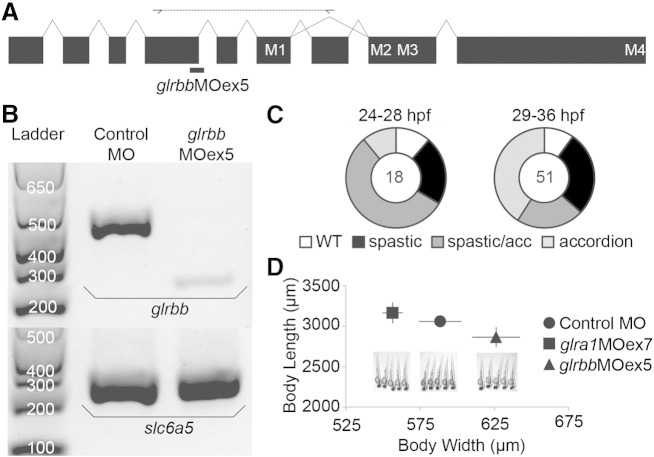 Efficacy and target specificity of splice-site-blocking glrbb exon 5 morpholinos. A. Schematic representation of the zebrafish GlyR βb subunit gene ( glrbb ). Exons, shown as black boxes, are connected by introns, shown as lines. Exons that encode membrane-spanning domains M1–M4 are indicated. The glrbb MOex5 splice-site-blocking MO (thick black bar) was designed to knockdown glrbb expression by masking exon/intron junction intron4/exon5. Diagnostic primers designed to amplify exons 5 to 8 were used to detect MO-induced mis-splicing events. B. RT-PCR results demonstrate specificity of altered glrbb pre-mRNA splicing caused by MO injection. The leftmost lane contains a size standard ladder followed by two lanes of RT-PCR from RNA samples of 28 hpf embryos injected with 2 nL 0.5 mM control MO and 2 nL 0.5 mM glrbb MOex5 respectively. In the upper gel, glrbb diagnostic primers are used for PCR from cDNA synthesized using a gene-specific primer for glrbb . In contrast to control morphants, where a single strong PCR product of 430 bp is detected, glrbb MOex5 morphants exhibit reduced levels of the wild type PCR product and a new product of 274 bp, indicating exon skipping. In the lower gel, PCR for a GlyT2 cDNA ( slc6a5 ), amplified from cDNA synthesized using anchored oligo-dT primers, is used as a loading control. C. Percentages of glrbb MOex5 morphants exhibiting wild type (wt), spastic or accordion phenotypes are plotted at 24–28 hpf and 29–36 hpf. The number of embryos analyzed is indicated at the center of each plot. D. Pictures of 5 representative 48 hpf larvae demonstrate shortening of the body axis produced by tonic bilateral contraction in glrbb but not glra1 morphants. Length and width (yolk to back) measurements (average n = 5, error bars indicate standard deviation). A Student's t-test indicates that glrbb morphants are significantly shorter ( p