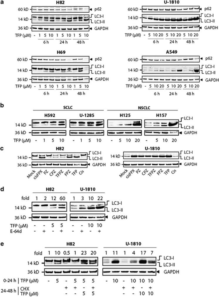 Phenothiazines disrupt autophagy. ( a ) H82, H69, U-1810 and A549 cells were treated with TFP at the indicated concentrations for 6, 24 or 48 h; WCL was used for immunoblotting with antibodies specific for p62, LC3B (which detect both LC3-I and LC3-II) and GAPDH (loading control). ( b ) H592, U-1285, H125, H157 cells were treated with TFP at the indicated concentrations for 72 h; WCL was used for immunoblotting with antibodies as in ( a ). ( c ) H82 and U-1810 cells were treated with 10 μ M of the indicated phenothiazines for 24 h; WCL was used for immunoblotting with antibodies specific for LC3B and GAPDH (loading control). ( d ) H82 and U-1810 cells were treated with TFP at the indicated concentrations in the absence or presence of E-64d (30 μ M) for 24 h; WCL was used for immunoblotting as in ( a ). ( e ) H82 and U-1810 cells were treated with TFP for 24 h followed by 24 h with either TFP, cycloheximide (CHX, 100 μ g/ml) or TFP+CHX. WCL was used for immunoblotting as in ( a ). Data shown are representative of three independent experiments
