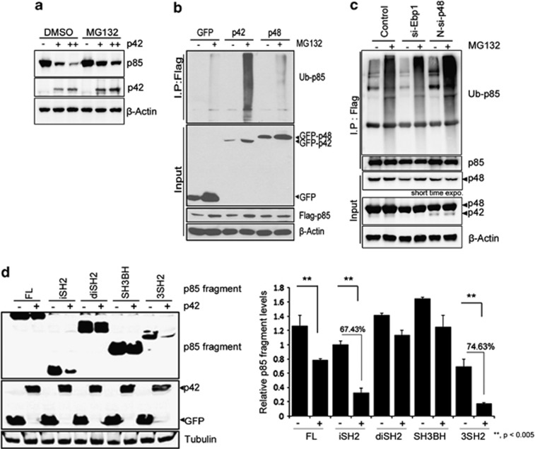 The p42 promotes p85 degradation through ubiquitin–proteasome system. ( a ) GFP-p42 (1 and 3 μ g) was transfected into HEK293 cells, following exposure to 10 μ M MG132 for 8 h. Immunoblotting was conducted to monitor p85, p42 or β -actin levels. ( b ) PC12 cells were co-transfected with HA-Ub and Flag-p85 and/or GFP-p42/p48 for 30 h and treated with MG132 (10 μ M) for an additional 8 h. To obtain similar amount of immunoprecipitated Flag-p85, we transfected 0.5 μ g of GFP-p42 while we transfected 1 μ g of GFP or GFP-p48. Cell lysates were immunoprecipitated with anti-Flag and immunoblotted with anti-HA antibody. ( c ) HEK 293T cells were co-transfected with Flag-p85 and HA-Ub along with N-si-p48 or si-Ebp1 following exposure of MG132. Ubiquitinated p85 was detected by immunoblotting with anti-HA antibody. ( d ) Cells were transfected with various Flag-p85 fragments with or without GFP-p42, and p85 levels were determined by anti-Flag antibody (left). Densitometry analysis (right). ** P