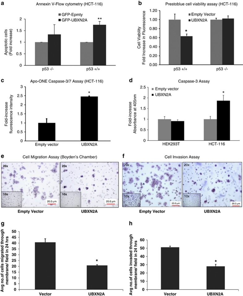 Induction of apoptosis by UBXN2A is p53 dependent and caspase-mediated in colon cancer cell lines. ( a , b ) HCT-116 (p53+/+) or HCT-116 (p53−/−) cells were transiently transfected with GFP-empty or GFP-UBXN2A for 48 h. An Annexin V apoptosis assay ( a ) and Prestoblue cell viability ( b ) assay show that overexpression of UBXN2A leads to a significant increase in cell apoptosis ( c ) and reduction of cell viability ( d ) in HCT-116 with WT-p53 (p53+/+). There was not a significant change between GFP-empty and GFP-UBXN2A in p53-KO cells (* P