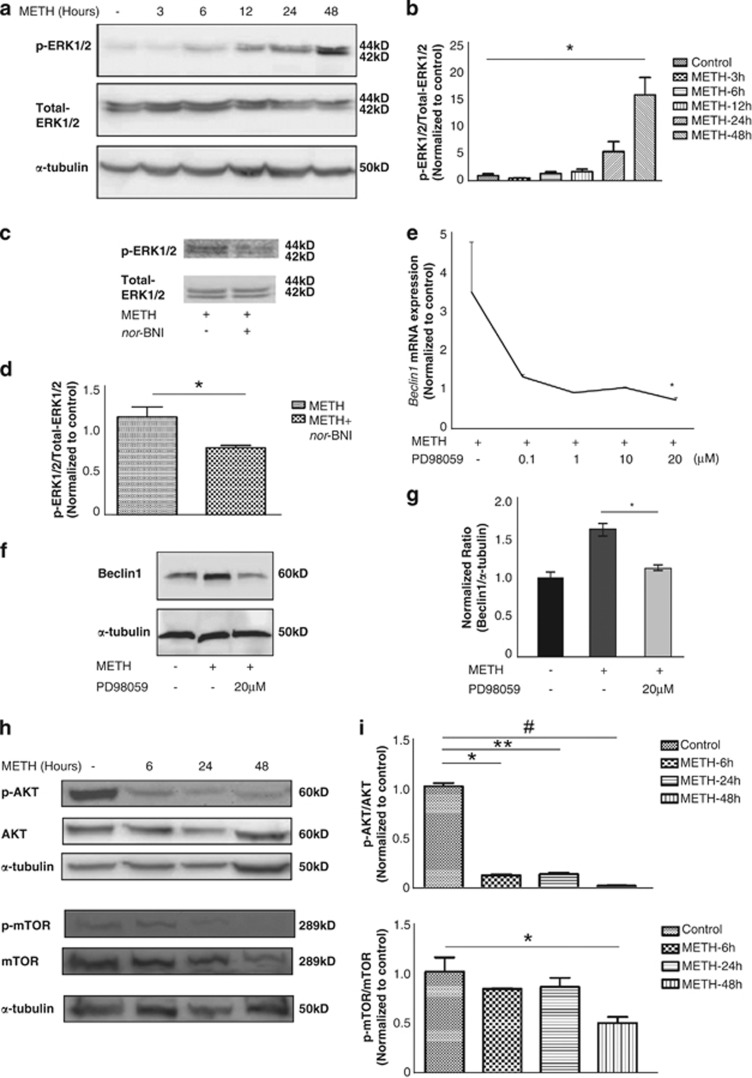 METH-induced autophagy involves Akt/mTOR and the ERK pathways in endothelial cells. ( a ) Cells exposed to METH for 3, 6, 12, 24 and 48 h showed an increase in <t>ERK1/2</t> phosphorylation after 6 h of treatment. ( b ) Densitometric analysis of p-ERK1/2 level. Values were normalized against α -tubulin and presented as a ratio compared with the basal level (0 h of treatment). Data represent the means of three independent blots. * P