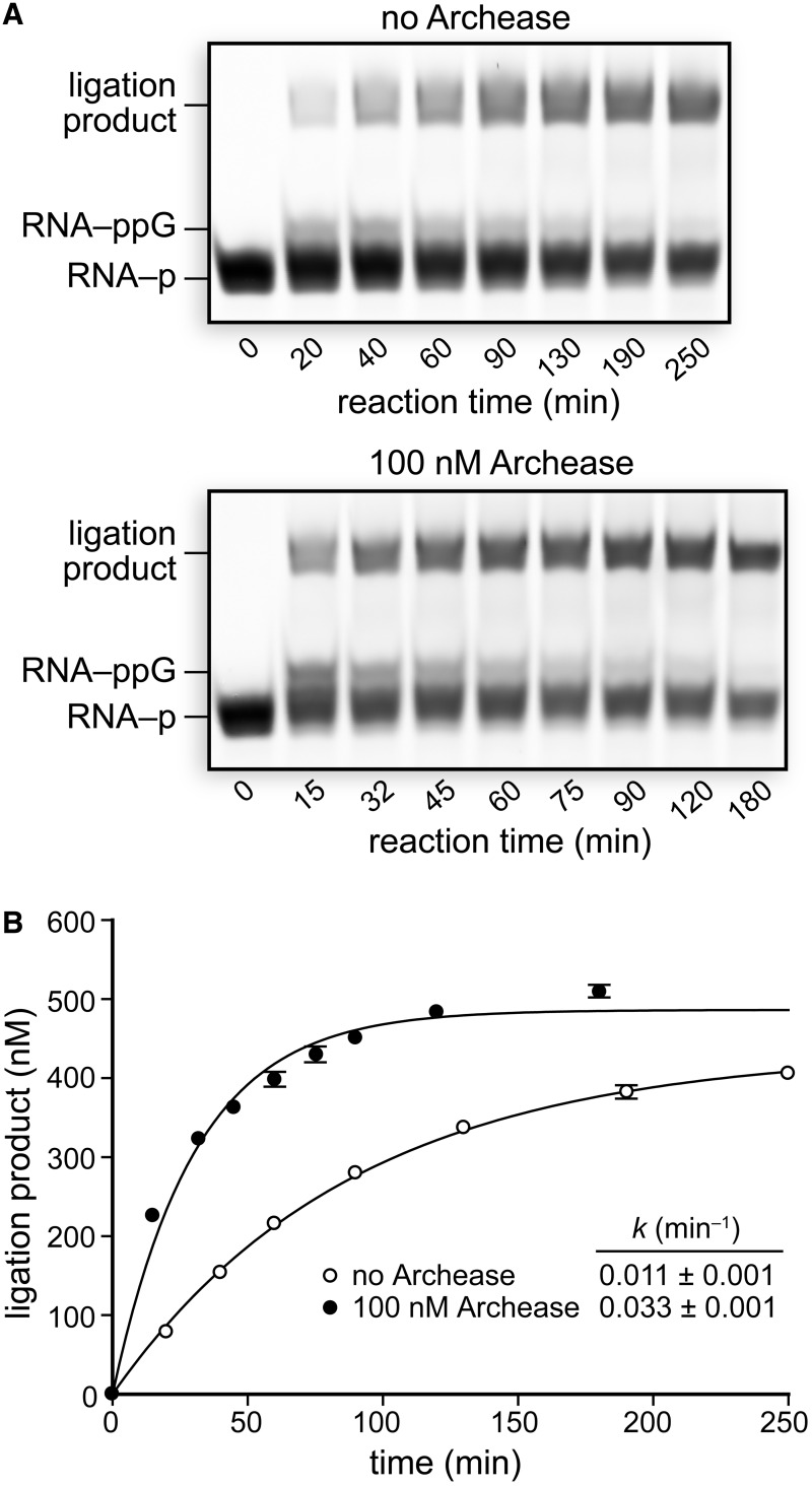 Effect of Archease on the single-turnover rate of RNA ligation by RtcB. ( A ) RNA ligation reactions with RtcB alone or with the inclusion of 100 nM Archease. Reaction mixtures contained 50 mM Bis–Tris buffer (pH 7.0), <t>NaCl</t> (300 mM), MnCl 2 (0.25 mM), <t>GTP</t> (0.10 mM), P. horikoshii RtcB (5 μM), 5′ RNA fragment (1.0 μM) and 3′ RNA fragment (1.0 μM). Reaction mixtures were incubated at 70°C, and aliquots were removed at the indicated times and quenched with an equal volume of RNA gel-loading buffer. ( B ) Plots of ligation product formation over time fitted to a single-exponential equation. Values are the mean ± SE for two separate experiments.