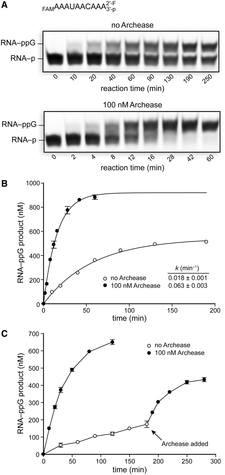 Effects of Archease on the rate of RtcB-catalyzed guanylylation of RNA with a 2′-F/3′-P terminus. RtcB was pre-guanylylated by incubation with GTP and Mn(II), and the 3′ RNA fragment was not included to prevent ligation. ( A ) The guanylylation rate of a 2′-F/3′-P RNA terminus by RtcB alone or with the inclusion of 100 nM Archease. RNA guanylylation reaction mixtures contained 50 mM Bis–Tris buffer (pH 7.0), NaCl (300 mM), MnCl 2 (0.25 mM), GTP (0.10 mM), P. horikoshii RtcB (5 μM) and RNA substrate (1.0 μM). (RNA substrate is shown at top.) Reaction mixtures were incubated at 70°C, and aliquots were removed at the indicated times and quenched with an equal volume of RNA gel-loading buffer. ( B ) Plots of RNA–ppG product formation over time fitted to a single-exponential equation. ( C ) Plots of RtcB-catalyzed RNA–ppG product formation over time in reactions that had the 2′-F/3′-P RNA substrate in excess (0.5 μM RtcB and 1.0 μM RNA substrate). Archease (100 nM) was added where indicated. Values in the plots are the mean ± SE for two separate experiments.