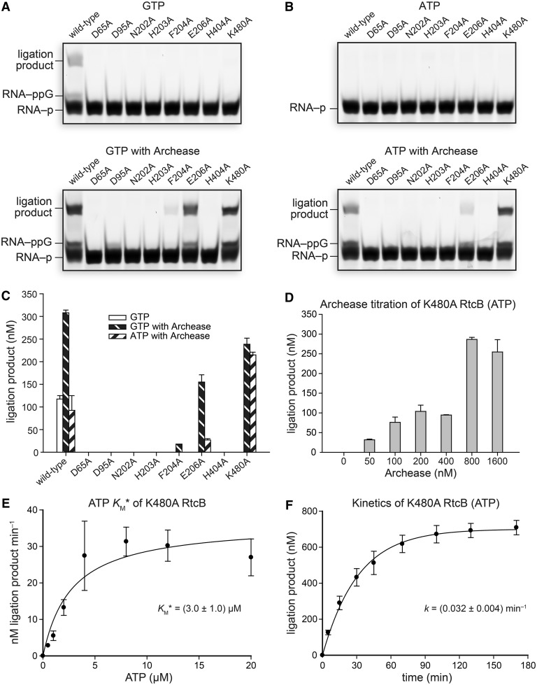 Effect of Archease on the activity of active-site variants of RtcB in RNA ligation assays with GTP or ATP as a cofactor. ( A ) Reactions with GTP (0.10 mM) as a cofactor. ( B ) Reactions with ATP (0.10 mM) as a cofactor. Reaction mixtures included 100 nM Archease where indicated, and were incubated at 70°C for 30 min. ( C ) Graph of the ligation product obtained for each RtcB variant. Values are the mean ± SE for two separate experiments. ( D ) ATP-dependent K480A RtcB-catalyzed RNA ligation reactions titrated with increasing concentrations of Archease, as specified. ATP was included at 0.10 mM, and reaction mixtures were incubated at 70°C for 15 min. Values are the mean ± SE for three separate experiments. ( E ) Michaelis–Menten plot of reaction rate versus ATP cofactor concentration for K480A RtcB-catalyzed RNA ligation reactions under single-turnover conditions. Values are the mean ± SE for three separate experiments. ( F ) Single-turnover kinetics of ATP-dependent RNA ligation catalyzed by K480A RtcB with the inclusion of Archease (800 nM). Values are the mean ± SE for two separate experiments. Ligation reaction mixtures contained 50 mM Bis–Tris buffer (pH 7.0), NaCl (300 mM), MnCl 2 (0.25 mM), NTP as indicated, P. horikoshii RtcB (5 μM), 5′ RNA fragment (1.0 μM) and 3′ RNA fragment (1.0 μM).