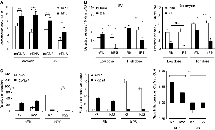 Exemplary applications of the LORD-Q method. ( A ) Comparative analysis of genotoxic vulnerability. Human primary fibroblasts (hFib) and corresponding isogenic hiPS cells were treated in serum-free medium with 10 µM bleomycin (20 min) or 10 mJ/cm 2 UVC radiation before mitochondrial and genomic lesion rates were determined by LORD-Q analysis ( n = 3, mean ± SD). ( B ) Investigation of mtDNA repair. Human primary fibroblasts and corresponding isogenic hiPS cells were treated with low and high doses of bleomycin (see Materials and methods section for details) or UV radiation in serum-free medium, and then harvested either directly after treatment (indicated 'initial') or after 2 h of recovery under cell culture conditions ( n = 3, mean ± SD). ( C ) Comparison of DNA damage in different genes. QRT-PCR expression analysis of Oct4 and Col1a1 in fibroblasts and corresponding hiPS cells ( left , n = 3, mean ± SD). Corresponding qPCR analysis of histone H3 acetylation in ChIP-enriched Oct4 and Col1a1 loci (middle). Fibroblasts and corresponding hiPS cell clones were stimulated with 10 µM bleomycin (20 min) and the DNA lesion rates in both Oct4 and Col1a1 gene loci were determined (right, n = 6, mean ± SD). The ratio of detected lesions per 10 kb in both genes is shown. * P