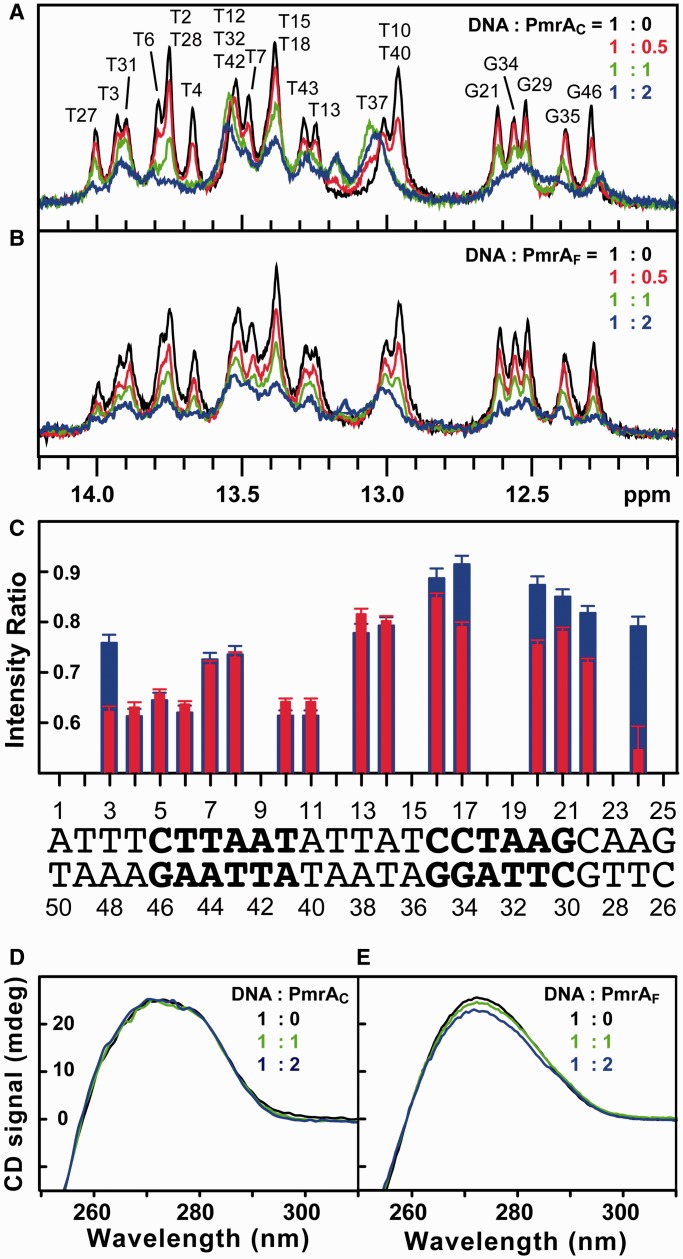 PmrA C and PmrA F recognize box1 DNA with different modes. ( A ) 1D proton NMR spectra of imino signals of box1 at different ratios of DNA to PmrA C (black 1:0, red 1:0.5, green 1:1 and blue 1:2). The imino signals from THY3 to ADE24 were completely assigned. ( B ) 1D spectra of the titration of PmrA F into box1 DNA. The color representation is the same as in (A). ( C ) The intensity ratio of each imino signal at ratio of protein to DNA of 0.5 to 0. Blue bars are for the PmrA C complex and red are for the PmrA F complex. The overlapped imino signals were not plotted and the sequence for box1 DNA is shown below. ( D ) and ( E ) CD spectra for box1 DNA at different ratios of DNA to PmrA C and PmrA F , respectively.