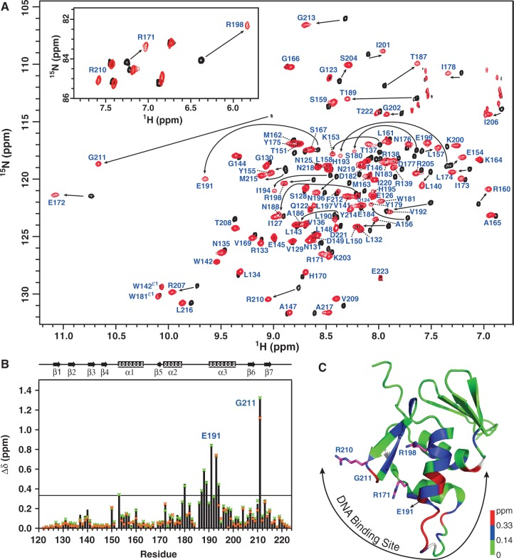 NMR investigations of PmrA C –DNA complexes. ( A ) The regions of amide resonances and N ε H resonances of Arg side-chains (inset) of overlaid 2D 1 H, 15 N TROSY-HSQC spectra for PmrA C in the absence (black) or presence (red) of box1a DNA. The amide resonances in complex state are indicated. ( B ) Weighted chemical shift perturbations for backbone 15 N and 1 H N resonances as calculated by the equation Δδ = {[(Δδ HN ) 2 +(Δδ N /5) 2 ]/2} 0.5 . The solid black bar represents the Δδ values for the box1a complex, green x for box1 and orange x for box1b. The black line indicates 0.33 ppm (the mean Δδ value of box1a complex plus 1 SD). ( C ) Structural mapping of chemical shift perturbations of the box1a complex. The residues with chemical shift perturbation > 0.33 ppm are in red,