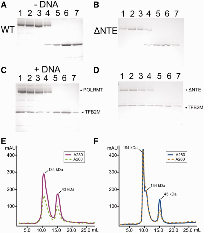 POLRMT and TFB2M interact in a DNA-dependent manner. Gel-filtration experiment demonstrating that both proteins could be resolved as separate peaks on a Sephadex 200 <t>10/300</t> gel filtration column in the absence of promoter DNA ( A ) and ( B ). However, when linear promoter DNA was included in the experiment, both POLRMT and POLRMT ΔNTE co-eluted with TFB2M, suggesting that a stable POLRMT:TFB2M complex is formed in the presence of promoter DNA ( C ) and ( D ). Actual size-exclusion chromatograms for experiments without the promoter DNA ( E ) and with promoter DNA ( F ).