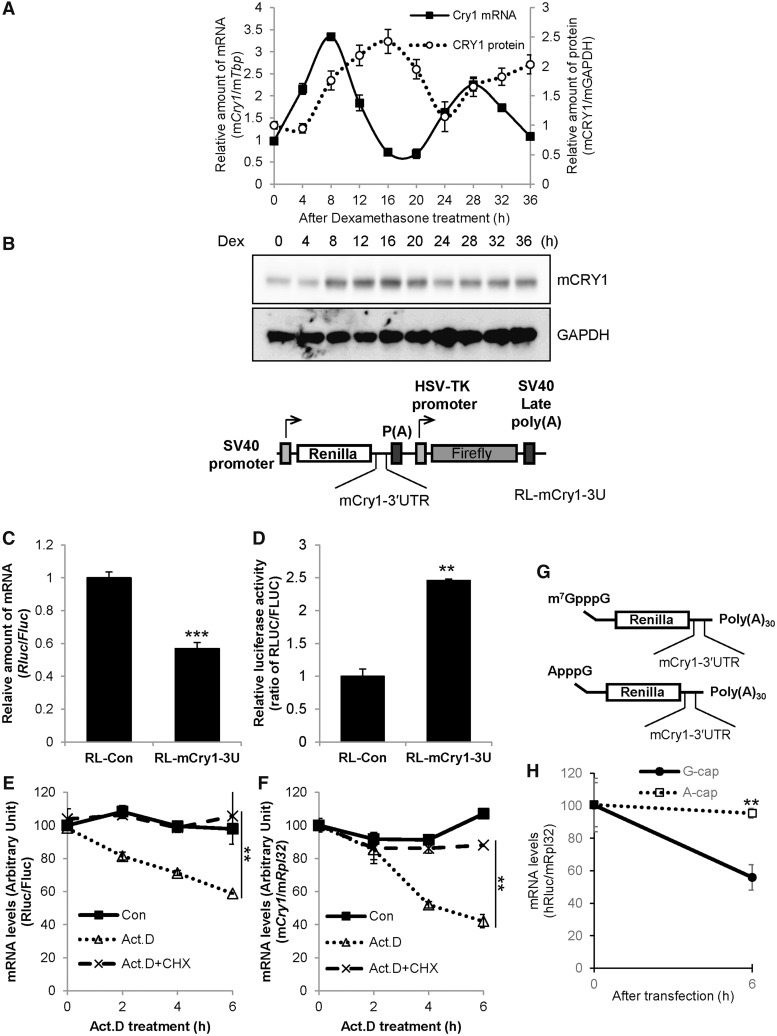 The 3′UTR of Cry1 is involved in translation. ( A ) NIH 3T3 cells were treated with dexamethasone (Dex), and cells were subjected to mRNA quantification or immunoblotting at the indicated time points. The relative Cry1 mRNA levels were expressed as the mean ± SEM (closed squares/solid line). The relative mCRY1 protein level (open circles/dotted line) were normalized to GAPDH and plotted. m Cry1 mRNA (CircWave, P = 1 × 10 −7 ) and mCRY1 protein (CircWave, P = 7 × 10 −7 ) levels between 8–36h are significantly rhythmic. ( B ) Cry1 -3′UTR was fused to Renilla luciferase (RL-Cry1-3U). Firefly luciferase was used as an internal control. ( C ) RL-con, which lacks the 3′UTR sequence, or RL-Cry1-3U plasmids were transfected into NIH 3T3 cells. After a 24-h incubation, total RNA was prepared, and mRNA levels were quantified by real-time PCR with Rluc - or Fluc -specific primers. mRNA levels were normalized to Fluc mRNA levels. The relative mRNA level of RL-con was set to 1 ( n = 4, *** P