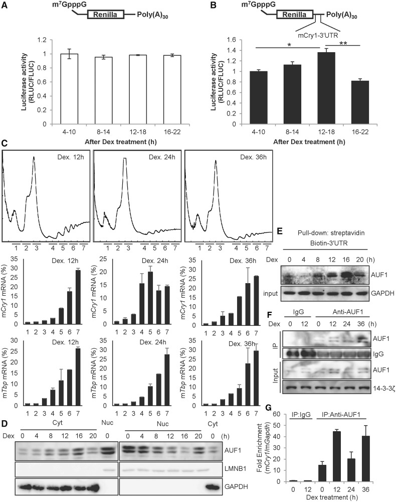 Rhythmic cytoplasmic AUF1 regulates time-dependent Cry1 translation. ( A ) NIH 3T3 cells were treated with dexamethasone (Dex), and the mRNA reporters lacking 3′UTR sequences were transiently transfected for 6 h at the indicated times, followed by measurement of luciferase activity. The relative values at 4–10 h were set to 1. ( B ) The mRNA reporters harbouring Cry1 -3′UTR were transfected into Dex-treated NIH 3T3 cells ( n = 4, P = 0.0097). ( C ) NIH 3T3 cells were treated with dexamethasone. After 12, 24, or 36 h of incubation, the cells were treated with cycloheximide. Then, the ribosomal distributions in sucrose density gradients were analysed in cell extracts (upper row). RNA samples were purified from fractions in the sucrose gradient. The amounts of m Cry1 mRNA (middle row) and Tbp mRNA (bottom row) across the gradient were analysed by real-time PCR, and the relative amounts of RNA in each fraction are depicted by corresponding bars in the graphs. ( D ) NIH 3T3 cells were treated with 100 nM Dex and harvested at the indicated times, and cytoplasmic or nuclear extract was prepared. Next, immunoblotting was performed with specific antibodies. ( E ) NIH 3T3 cells were treated with Dex and harvested at the indicated times, and cytoplasmic extracts were prepared. De x-treated cytoplasmic extracts were incubated with biotin-labelled Cry1 -3′UTR, and samples were subjected to immunoblotting. ( F ) NIH 3T3 cells were treated with dexamethasone, and cytosolic extracts were prepared. Immunoprecipitation was performed using anti-AUF1 antibody and normal Rat IgG as a control. ( G ) The co-immunoprecipitated mRNAs with AUF1 shown in panel F were analysed by real-time PCR. AUF1-bound Cry1 mRNA levels were normalized to the levels of background Gapdh mRNA. The relative Cry1 mRNA level that immunoprecipitated with IgG at 0-h was set to 1.