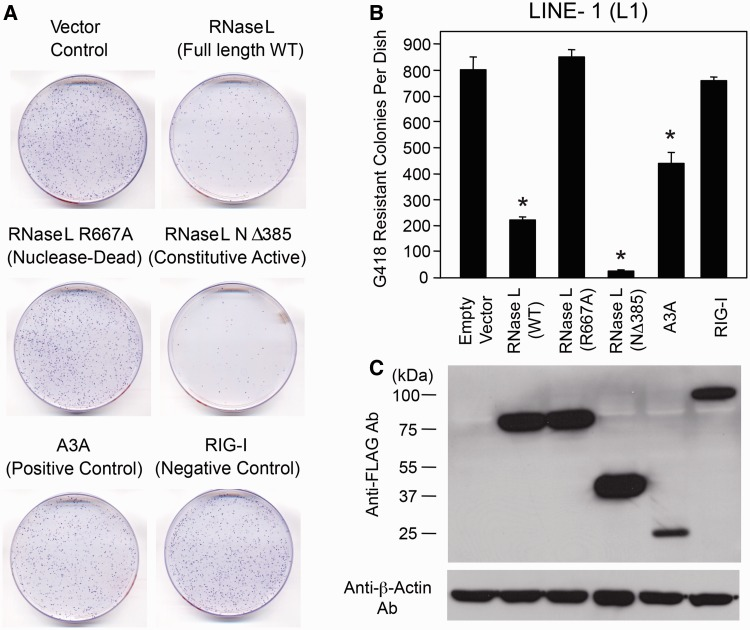 Inhibition of L1 retrotransposition by RNase L. ( A ) L1 Retrotransposition Assays: HeLa-M cells were co-transfected with pJM101/L1.3 and either an empty vector (pFLAG-CMV-2) or a plasmid that encodes amino-terminal FLAG-tagged versions of the following proteins: RNase L, A3A or RIG-I. The cells were subjected to selection for 10 days and G418-resistant foci were fixed and stained with crystal violet for visualization purposes. A representative tissue culture dish for each condition is shown. ( B ) Quantitation of the L1 Retrotransposition Assays: The X-axis depicts the co-transfected construct names. The Y-axis depicts the number of G418-resistant foci per cell culture dish. Data are shown as the mean ± standard deviation (SD) from a single experiment with three technical replicates. * P