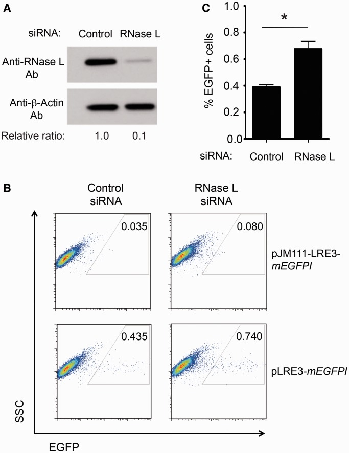 Depletion of endogenous RNase L increases L1 retrotransposition efficiency. ( A ) Knockdown of endogenous RNase L protein: Hey1b cells were transfected with control siRNA pools or RNase L siRNA pools. Western blotting using an anti-RNase L monoclonal antibody confirmed RNase L knockdown 48 h after siRNA transfection. β-Actin served as loading and transfer control. The band intensity was quantified with ImageJ software ( 83 ) and the relative ratio of RNase L to β-actin is shown. ( B ) Representative Retrotransposition Assay Results: Control siRNA (control) and siRNA-mediated RNase L depleted cells (RNase L) were transfected with either pLRE3- mEGFPI or pJM111-LRE3- mEGFPI . L1 retrotransposition was assayed as described in Figure 4 . Representative FACS plots are shown, as is the conservative gating strategy used to detect EGFP-positive cells. ( C ) Quantitation of the Retrotransposition Assays: The X-axis indicates the control siRNA (control) or siRNA-mediated RNase L depleted cells (RNase L). The Y-axis indicates the percentage of EGFP-positive cells. For each sample, 2 × 10 5 cells were analyzed and the percentage of EGFP-positive cells was calculated with using the FlowJo software package. The experiment was conducted four times (biological replicates) with similar results; representative data from one experiment are shown. Data are reported as the mean ± SD from three technical replicates of a single representative experiment. The asterisk indicates a P = 0.0079 and was calculated with two-tailed Student's t -test.