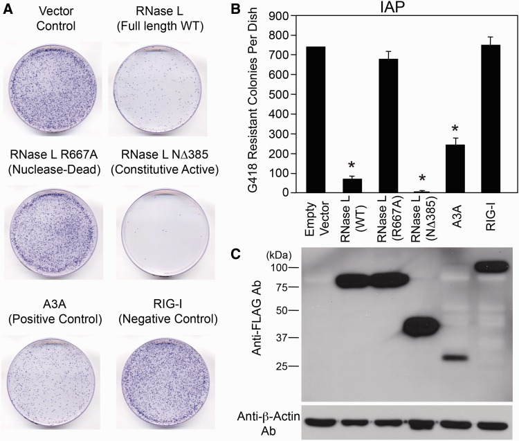 Inhibition of IAP retrotransposition by RNase L. ( A ) IAP Retrotransposition Assays: HeLa-M cells were co-transfected with a mouse IAP expression construct (pDJ33/440N1 neo TNF ) and either an empty vector (pFLAG-CMV-2) or an expression plasmid that encodes an amino-terminal FLAG-tagged version of the following proteins: WT RNase L, a catalytically inactive RNase L mutant (R667A), a constitutively active RNase L mutant (NΔ385), A3A or RIG-I. The cells were subject to selection for 10 days and G418-resistant foci were fixed and stained with crystal violet for visualization purposes. A representative tissue culture dish for each condition is shown. ( B ) Quantitation of the IAP Retrotransposition Assays: The X-axis depicts names of constructs co-transfected into cells with the IAP construct. The Y-axis depicts the number of G418-resistant foci per cell culture dish. Data are represented as the mean ± standard deviation (SD) from a single experiment with three technical replicates. * P