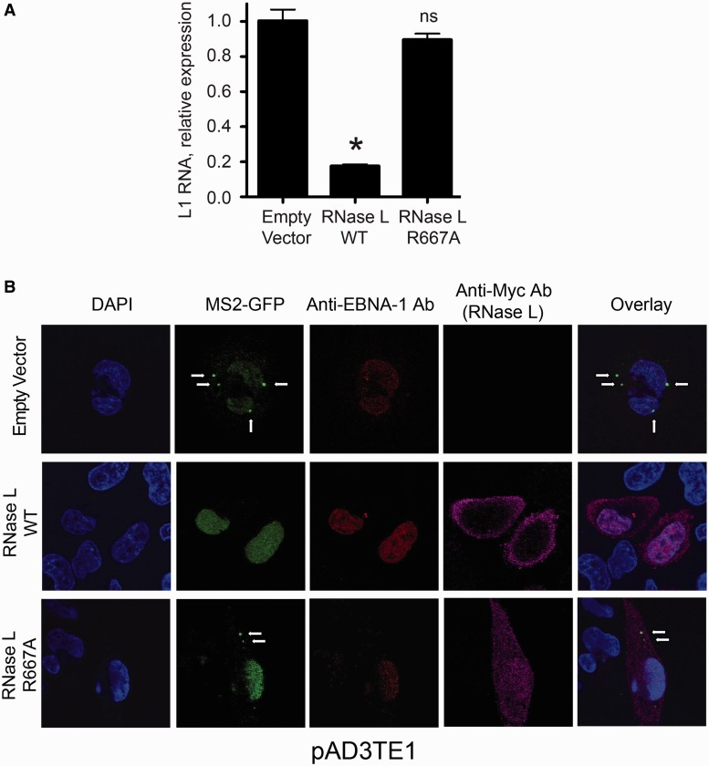 RNase L reduces L1 RNA accumulation in cells. ( A ) Results of qRT-PCR experiments: HeLa-M cells were co-transfected with pAD2TE1 and an empty vector (pFLAG-CMV-2) or an amino-terminal FLAG-tagged RNase L expression plasmid. L1 RNA levels were determined 48 h after transfection using the Sybr Green method ( 84 ). The X-axis indicates the RNase L co-transfected samples. The Y-axis indicates the relative expression level of L1 RNA from the transfected construct. The L1 RNA amounts were normalized with hygromycin mRNA levels (see 'Materials and Methods' section for detailed PCR strategy). Data are represented as the mean ± SD from three technical replicates of a single representative experiment. * P