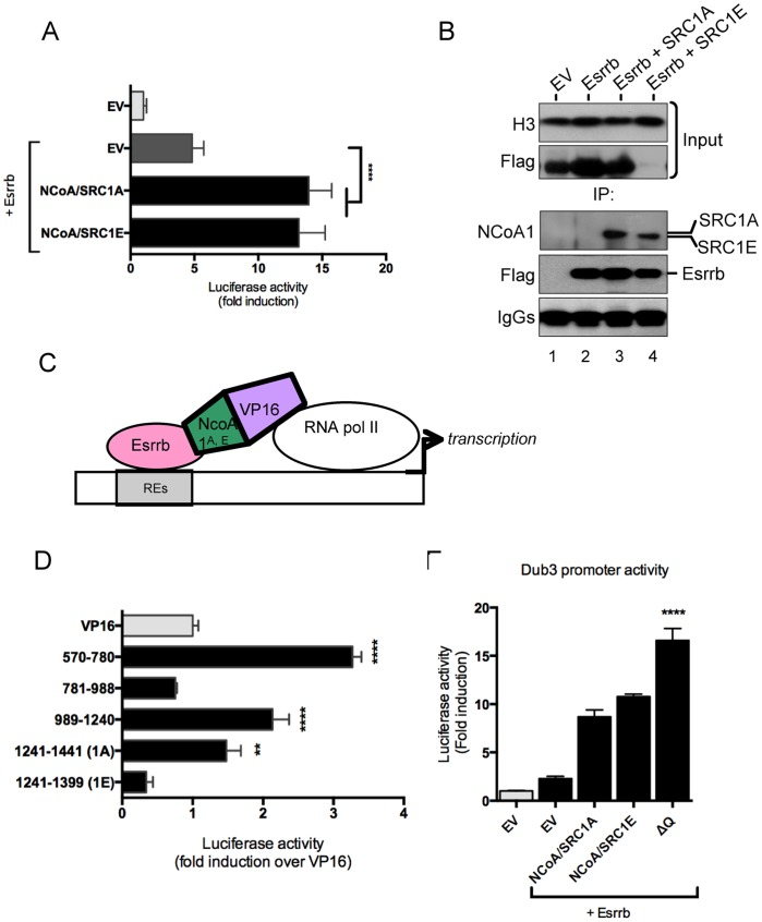 Direct interaction between NCoA1 splice variants and Esrrb. (A) CV1 cells were transfected with equal amount of plasmid DNA (50 ng reporter/450 ng Esrrb/450 ng NCoA) and luciferase activity was measured 48 hours after transfection. Data were normalised to pGL4.10 empty vector. Data is shown as average of fold induction of six biological replicates and the error bars indicate the standard deviation. Four asterisks indicate that P
