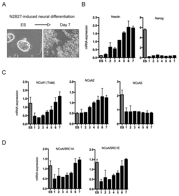 Developmental regulation of NCoA's gene expression. (A) Representative images of an ES cell colony and resulting neural stem cells after plating during 7 days in N2B27 medium (clearly visible are the rosette formation indicative of neural stem cell differentiation). (B) qPCR quantification of Nestin (cell fate marker) and Nanog (pluripotency marker) mRNA expression during neural conversion. Data is shown as average of three biological replicates and the error bars indicate the standard deviation. (C) qPCR quantification of all three members of the NCoA family mRNA expression during neural conversion. Data is shown as average of three biological replicates and the error bars indicate the standard deviation. (D) qPCR quantification of NCoA1 specific splice variants SRC1A and SRC1E expression during neural conversion. Primers were designed to specifically determine transcript levels of both splice variants. Data is shown as average of three biological replicates and the error bars indicate the standard deviation.