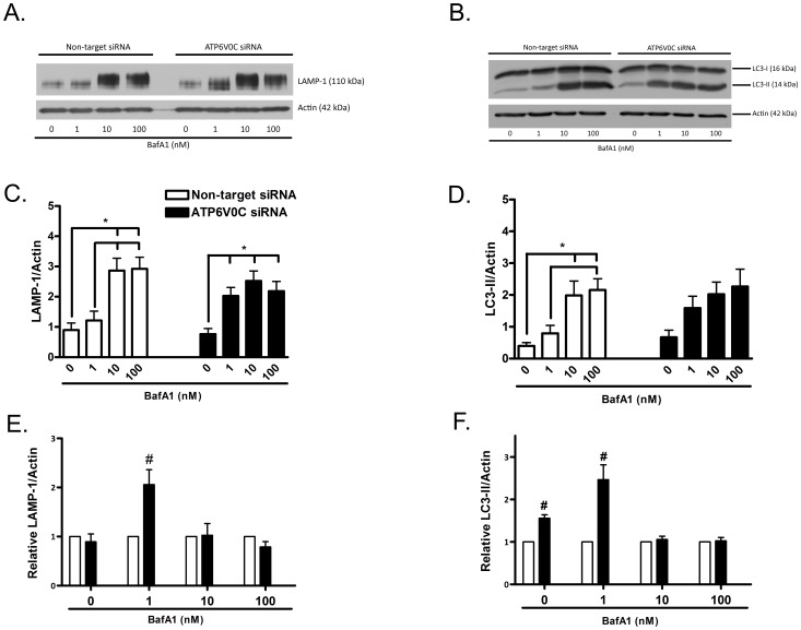 ATP6V0C regulation of autophagy-lysosome pathway markers. Representative western blots for lysosome marker LAMP-1 (A) or autophagosome marker LC3-II (B) from lysates collected following nucleofection with Non-target or ATP6V0C siRNA and subsequent treatment for 48 h with 0–100 nM <t>bafilomycin</t> A1 (BafA1). Blots were stripped and re-probed for actin (42 kDa) to normalize for gel loading. Data from at least six independent experiments are presented graphically in panels C–F. Within group comparisons of BafA1 concentration responsiveness (Non-target siRNA, open columns, left; ATP6V0C siRNA, filled columns, right) were determined for LC3-II (C) or LAMP-1 (D) by expressing mean ± SEM band intensities relative to actin loading control. All lines above columns indicate significant within-group differences with respect to concentration (*p