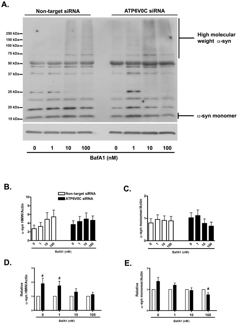 ATP6V0C regulates basal and stress-induced metabolism of alpha synuclein. Representative western blot for α-syn (A) from lysates following nucleofection and subsequent treatment for 48 h with 0–100 nM bafilomycin A1 (BafA1), indicating α-syn high molecular weight (HMW) species ( > 50 kDa, suggesting multimeric species) and α-syn monomer (∼17 kDa). Blots were stripped and re-probed for actin (42 kDa) to normalize for gel loading. Data from at least six independent experiments are presented graphically in panels B–E. Within groups comparisons of BafA1 concentration responsiveness (Non-target siRNA, open columns, left; ATP6V0C siRNA, filled columns, right) were determined for α-syn HMW species (C) or monomer (D) by expressing mean ± SEM band intensities relative to actin loading control (results of one-way ANOVA were not significant, p > 0.05). Comparisons between groups (Non-target vs. ATP6V0C siRNA) for α-syn HMW species (D) or monomer (E) were determined for each concentration of BafA1 by expressing mean ± SEM fold changes for each ATP6V0C siRNA condition relative to its companion Non-target control. # p