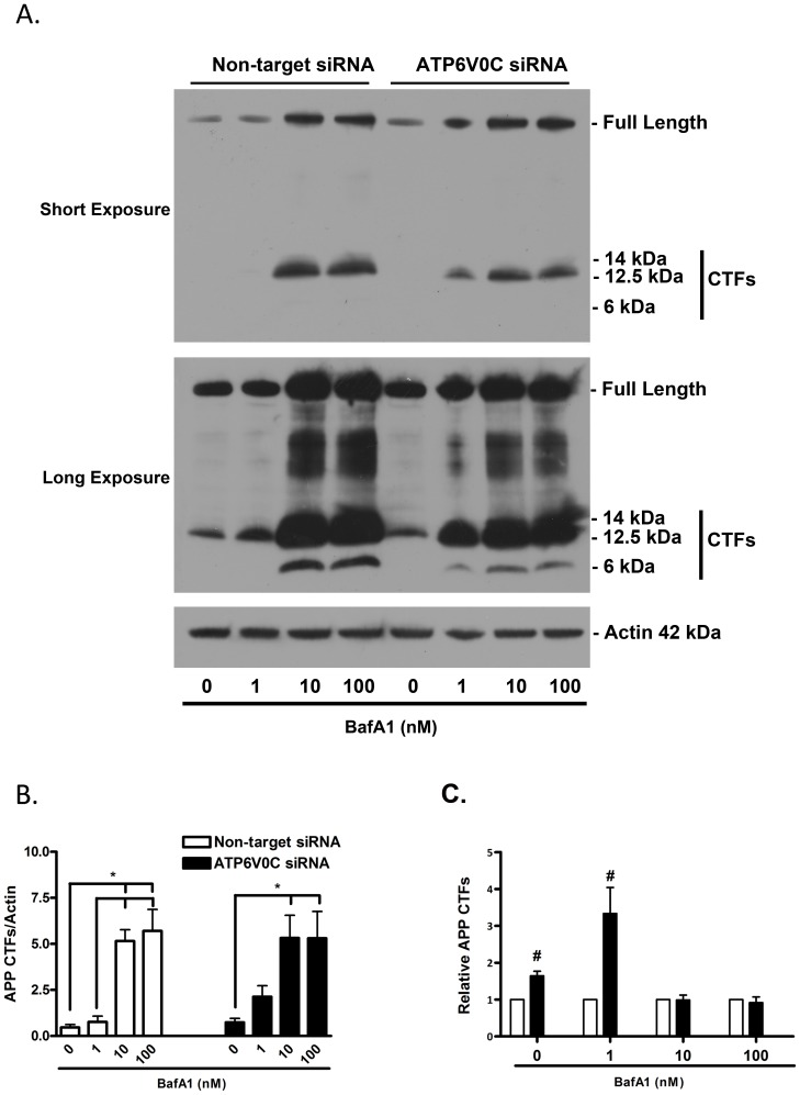 ATP6V0C regulates basal and stress-induced metabolism of APP. Representative western blot (A) for amyloid precursor protein C-terminal fragments (APP CTFs) from nucleofected cells following 48 h treatment with 0–100 nM bafilomycin A1 (BafA1). An antibody was used that recognized both full-length APP (∼110 kDa) and APP CTFs (≤15 kDa). Sizes indicated for CTFs are predicted relative to migration of molecular weight marker and correlate to sizes as previously published (please see results section for further information). In addition to a short-exposure (5 min) blot, a long-exposure (2 h) blot is shown to indicate APP CTFs in vehicle-treated cells. Blots were stripped and re-probed for actin (42 kDa) to normalize for gel loading. APP CTFs from long-exposure blots quantified from four independent experiments are expressed graphically (B–C). Within groups comparisons of BafA1 concentration responsiveness (Non-target siRNA, open columns, left; ATP6V0C siRNA, filled columns, right) were determined (B) by expressing mean ± SEM band intensities relative to actin loading control. All lines above columns indicate significant within-group differences with respect to concentration (*p