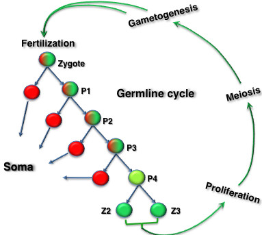 The germline cycle in Caenorhabditis elegans . The first four cell divisions after fertilization are asymmetric, with the posterior germ line precursor 'P-cells' (P1 to P4) inheriting germplasm (green). The anterior cells at each division contribute to various somatic lineages (red). The last division at P4 is symmetric and yields Z2 and Z3. <t>Z2/Z3</t> divide after hatching, and their descendants undergo extensive proliferation and germ cell development (meiosis and gametogenesis). The cycle is repeated after the gametes fuse in the zygote.