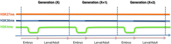 Transgenerational continuity of histone modifications in the germline. Continuity in germline chromatin is illustrated for three chromatin modifications: H3K27 methylation (orange), H3K36 methylation (blue), and H3K4methylation (green). Vertical dotted lines demark separate generations; the arrows at the bottom delineate embryonic and postembryonic germ cell stages within each generation. H3K27 methylation levels are maintained by the PRC2 complex at all stages, with an increase in H3K27me3 levels in Z2/Z3 in the embryo (not shown). H3K36 methylation maintenance by MES-4 occurs at all stages, but its maintenance is critical in the embryo (light blue). In postembryonic germ cell stages, co-transcriptional H3K36 methylation by MET-1 occurs (dark blue). H3K4 methylation (green) is maintained in the early embryo by the C. elegans MLL complex, but extensive loss/reprogramming of this mark is observed at the birth of the PGCs, Z2/Z3. H3K4 methylation in the postembryonic germ line is then re-established and maintained by a combination of MLL-dependent and MLL-independent/transcription-dependent mechanisms.
