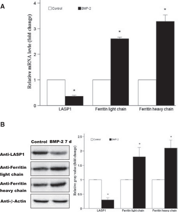 Confirmation of RNA and protein expression levels by real-time quantitative <t>PCR</t> and western blotting analysis (n = 3, per treatment type). (A) The expression of LASP1 and ferritin light and heavy chain mRNAs relative to that of GAPDH, the internal control, as detected by real-time PCR. (B) Expression of LASP1 and ferritin light and heavy chains, as assessed by western blotting analysis. The signal corresponding to the protein bands was quantified using densitometric scanning and the relative protein abundance was determined after normalization with the levels of β-actin protein. Data are presented as mean ± SD and compared using the t -test for independent samples. * p
