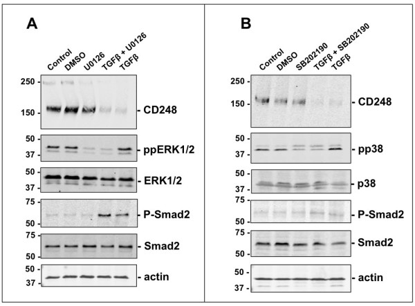 TGFβ-mediated suppression of CD248 via ALK5 is specific. (A, B) MEF were incubated with TGFβ (3 ng/ml) for 48 hrs in the presence or absence of the inhibitor of phosphorylated ERK1/2, U0126 10 μM (A) or phosphorylated p38, <t>SB202190</t> 10 μM (B) . Representative Western blots from 3 independent experiments are shown and were used to assess the effect on CD248 expression. TGFβ-coupling to either ERK1/2 or to p38 is not involved in its suppressive effects on CD248.
