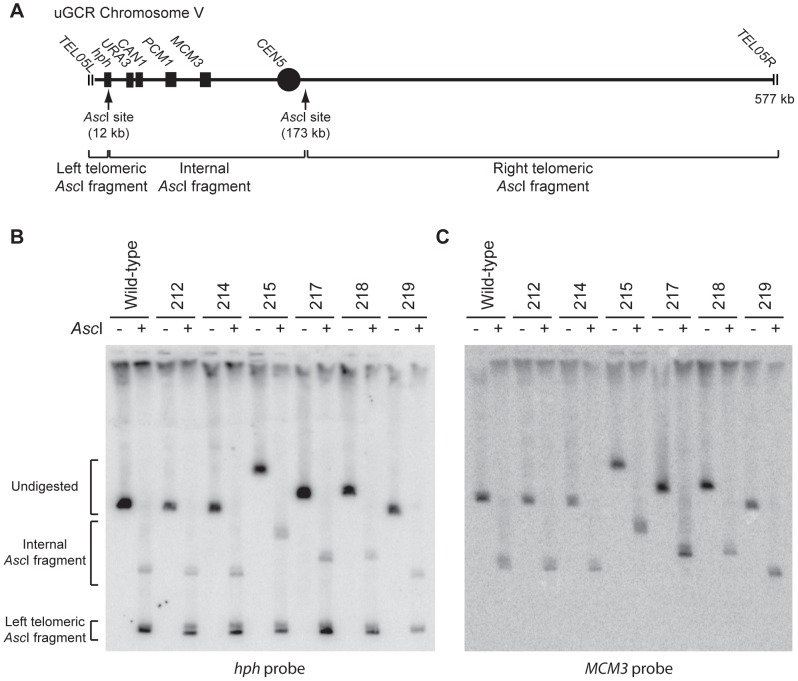 GCRs retaining hph belong to two size classes. ( A ) Digestion of the uGCR chrV divides the uGCR chrV into left telomeric, internal, and right telomeric fragments. Vertical arrows indicate the Asc I cleavage sites and relevant chromosomal features are labeled. ( B ) Southern blot using an hph probe of a pulsed-field gel (PFG) with DNA from the wild-type strain (RDKY6677) and 6 GCR-containing isolates (212, 214, 215, 217, 218, and 219) with and without Asc I digestion. The hph probe hybridizes to the intact chromosome and the internal and left telomeric fragments. ( C ) Southern blot of a second PFG with the same samples as in panel B using an MCM3 probe. The MCM3 probe hybridizes to the intact chromosome and the internal fragment.