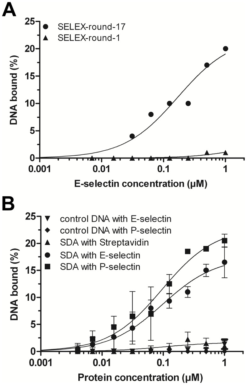 Affinities of selected DNA aptamers to rh E- and rh P-selectin determined via filter retention assays (FRA). DNA was radiolabeled, incubated with increasing amounts of proteins and filtrated through a nitrocellulose membrane. Fractions of bound DNAs were detected via autoradiography and quantified. (A) Recombinant human E-selectin incubated with DNA pool after one (▴) and 17 (•) SELEX rounds. (B) Aptamer SDA incubated with rh E-selectin (•, K d ≈ 87 nM), rh P-selectin (▪, K d ≈ 84 nM), or streptavidin (▴) as a control. A control DNA did neither bind to human E- (▾) nor P-selectin (♦).