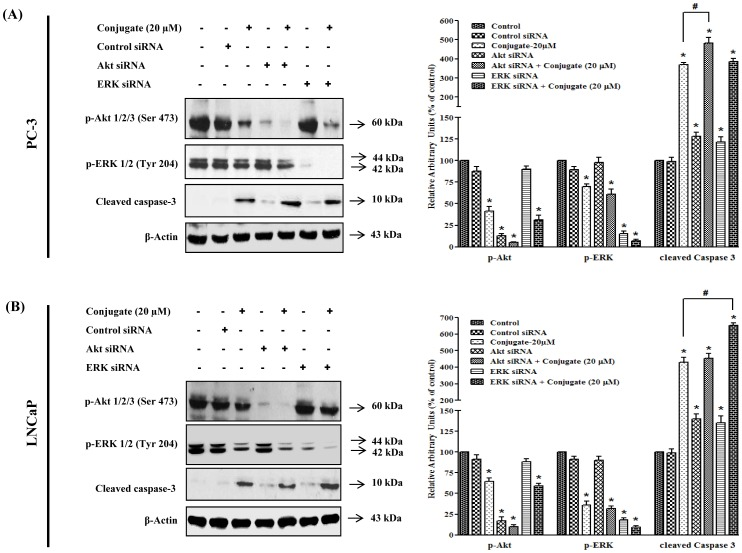 Differential role of PI3K/Akt and MAPK/ERK pathways in conjugate induced apoptosis of prostate cancer cells. Effects of siRNA mediated silencing of Akt and ERK on conjugate-induced apoptosis of (A) PC-3 and (B) LNCaP cells. LNCaP and PC-3 PCa cells were transfected with siRNAs (at a final concentration of 100 nM) using polyfect transfection reagent. After 24 h of transfection the cells were treated with 20 μM conjugate and allowed to grow for another 24 h. The cell lysates were prepared and the level of p-Akt, p-ERK and cleaved caspase-3 proteins were detected by immunoblot analysis. The histogram on the right panel of each figure represents densitometric analyses of the image data and expressed as percent of control where the results are mean ± SEM of three independent experiments. *and # represents statistically significant difference with respect to control and 20 μM conjugate treated groups respectively at p