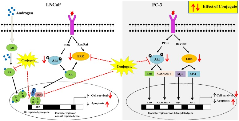 Proposed scheme for conjugate mediated actions on LNCaP and PC-3 prostate cancer cells. Conjugate inhibits both androgen receptor and ERK signalling and finally contributing to its downstream effects of decreased cell viability and increased apoptosis in androgen receptor positive LNCaP cells. In case of androgen receptor negative PC-3 cells, inhibition of Akt and its downstream targets contributes to conjugate mediated decrease in cell viability and increased apoptosis.