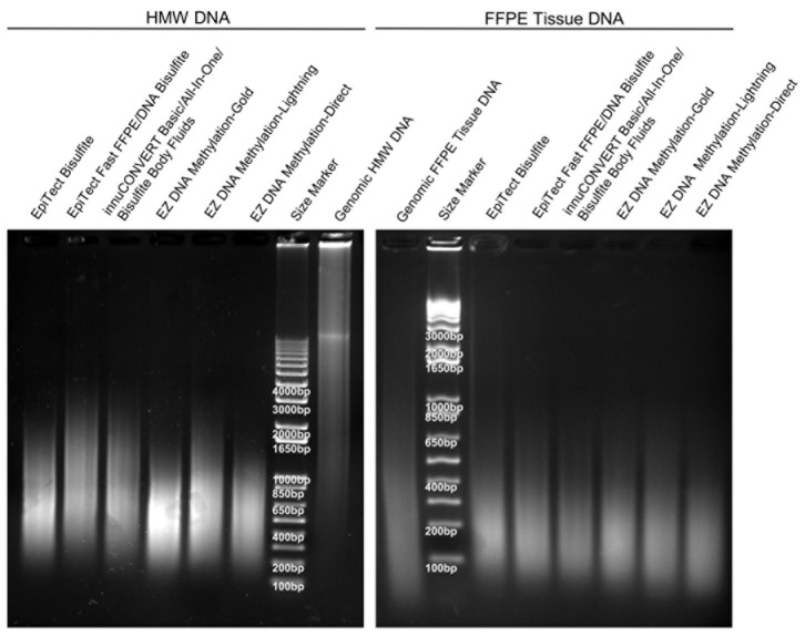DNA Integrity after Bisulfite Conversion. Agarose gel electrophoresis of genomic and bisulfite-converted DNA (2 μg each). The bisulfite conversion was carried out using nine different kits. Shown is bisulfite-converted DNA from HMW (left) and FFPE tissue (right) input DNA. Each bisulfite-converted DNA represents a DNA pool from nine independent bisulfite reactions per kit.